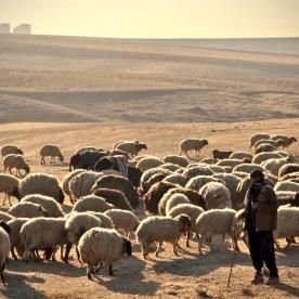 Hirte mit Schafen bei Sonnenaufgang in Dohuk