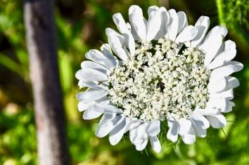 Madonna Flower