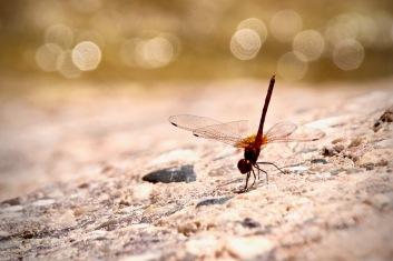 Wadi Numeira - Libelle