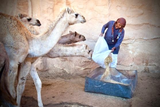 12 Ein Beduine füttert seine Baby-Kamele im Wadi Rum.